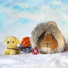 Famous explorer Roald Fuzzmundsen has arrived with supplies! Happy fuzzst day of winter everypawdy! Baby Guinea Pigs, Guinea Pig Care, Happy Animals, Funny Animals, Cute Animals, Pig Pics, Cute Piggies, All About Animals, Pet Costumes