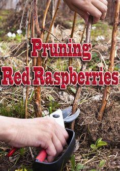 Gardening Tips How To – Pruning Red Raspberries Home Vegetable Garden, Fruit Garden, Edible Garden, Herbs Garden, Potager Garden, Veggie Gardens, Raspberry Bush, Raspberry Plants, Raspberry Tree