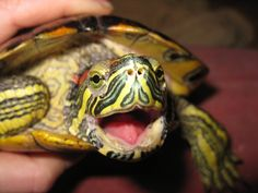 Red Ear Slider,  They like to hiss !