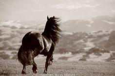 Friesian Horse at Liberty