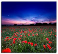 """""""Poppy Sunset"""" by Aaron_Bennett on flickr.com   Please join our new community viva la vida on: www.facebook.com/vivalavidalifestyle  Inspiration, life, wisdom, quotes, words, beautiful stories, moving photos, motivational videos"""