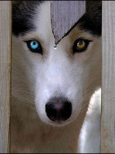 WOW! That's a Husky!