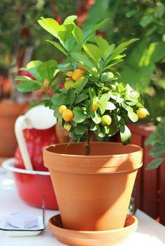 Pikkutalon elämää: Mandariinipuu