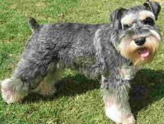Miniature Schnauzer, My sammy.  I will get another one someday.