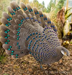 Grey Peacock Pheasant (also called the Bornean peacock pheasant). These are endangered due to habitat loss. Only about 600-1,700 remain.