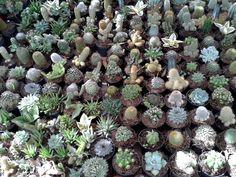 cacti at the Calendaria annual plant sale in Parque Juarez - San Miguel de Allende.