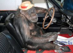 Don't monkey around with your safety. Ride with your real friends only.