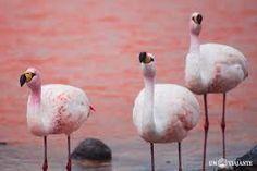 Resultado de imagem para flamingos no deserto do atacama