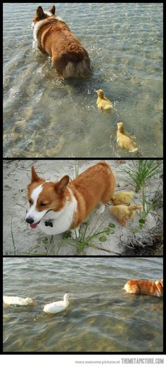 Corgi adopts flock of ducklings who lost their mother… <3