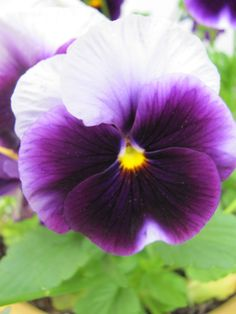 Pansy my favorite flowers!
