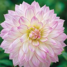 Dahlia 'Crazy Love Vb