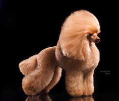 Yorkie Dogs, Lab Puppies, Poodle Grooming, Pet Grooming, Extreme Pets, Poodle Cuts, Poodle Haircut, Dog Grooming Business, Red Poodles