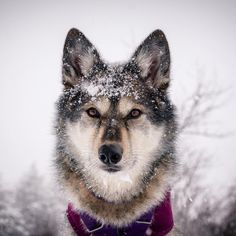 Let it snow let it snow I Love Dogs, Husky, Mindfulness, Memes, Winter, Fun, Guide, Snow, Posts