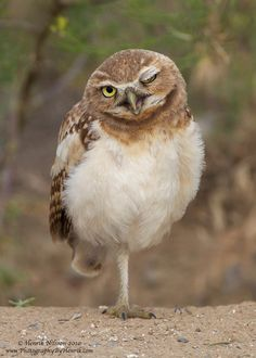 Burrowing Owl ~ by Henrik Nilsson