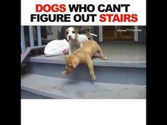 Petits et grands, ces chiens ont quelques difficultés avec les escaliers. http://www.youtube.com/watch?v=EVbcmyW1II4