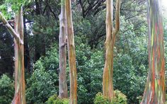 This gorgeous photograph by Amanda Pope shows a group of Rainbow Eucalyptus trees spotted just off the Hana Highway in east Maui. Eucalyptus deglupta is a tall tree, commonly known as the Rainbow Eucalyptus,