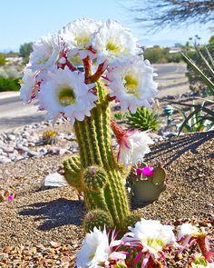 200 Pcs Rare African Cactus Plantas High Succulent Plant Tree Purify Air Bonsai Heat Resistant Easy Grow for Garden Unusual Flowers, Unusual Plants, Rare Flowers, Exotic Plants, Amazing Flowers, Beautiful Flowers, Beautiful Beautiful, White Flowers, Succulent Gardening