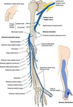 anatomy of radial nerve – Anatomy facts Muscle Anatomy, Body Anatomy, Nerve Anatomy, Radial Nerve, Medical Anatomy, Human Anatomy And Physiology, Occupational Therapy, Physical Therapy Student, Massage Therapy