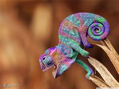 Crazy beautiful colors on this little Chameleon