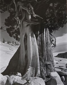 Edward Weston – Juniper, Sierra Nevada, 1937