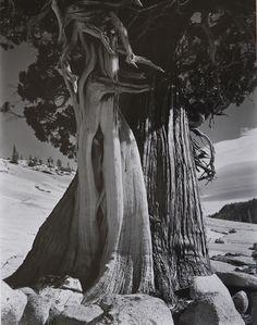 EDWARD WESTON (1886-1958), Juniper, Sierra Nevada, 1937