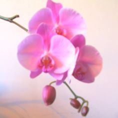 Phalenopsis orchid.