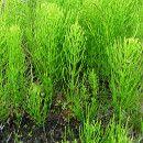 Cómo preparar y aplicar un fungicida para el huerto a base de cola de caballo