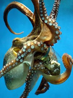 Scientists have tested octopuses' intelligence by placing food inside of jars with screwed caps. The eight-armed creatures easily unscrew the jar for the prize inside. One scientist even discovered one could unscrew childproof caps. Now that's impressive! Kraken Octopus, Octopus Art, Octopus Drawing, Octopus Painting, Octopus Tattoos, Octopus Tentacles, Octopus Photography, Octopus Pictures, Beautiful Sea Creatures