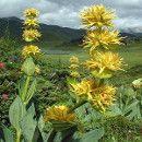 La Genciana, una planta con propiedades digestivas, antibióticas y antiinflamatorias