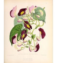 Aristolochia - The floral magazine Dombrain H 1861