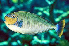 Vlamingi Tang..reminds me of a Dolphin..Mahi Mahi..pretty colors. Saltwater Aquarium Fish, Saltwater Tank, Saltwater Fishing, Tang Fish, Cool Fish, Fish Drawings, Marine Fish, Ocean Creatures, Mahi Mahi