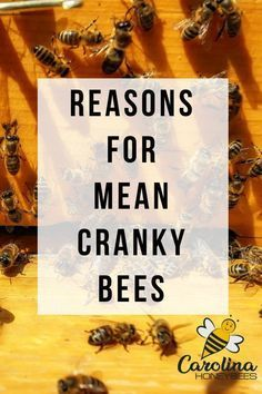 Why do I have aggressive bees in my late summer hives? There are many reasons for cranky bees. Enjoy these tips for how to deal with mean bees. Bee Hive Plans, Beekeeping For Beginners, Raising Bees, Bee Boxes, Bee Farm, Backyard Beekeeping, Learn Faster, Hacks, Busy Bee