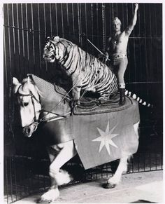 Bob Bounty animal trainer and performer rides on the back end of his stallion with one if his trained tigers in the Ring. Old Circus, Circus Art, Night Circus, Circus Theme, Circus Birthday, Birthday Parties, Circus Pictures, Old Pictures, Old Photos