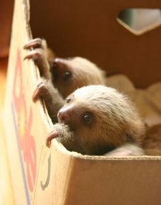 """A: The sloth 