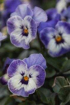 blue pansies by Adele Collins