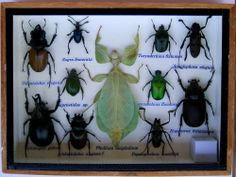 11 Insects * Collection *Taxidermy*Beetle*Phyllium* #18