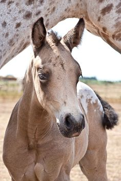 Appaloosa Colt - from BoHoSantaFeTrail Almost bought one that looks this All The Pretty Horses, Beautiful Horses, Animals Beautiful, Baby Horses, Wild Horses, Horse Photos, Horse Pictures, Baby Animals, Cute Animals