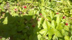 Ahomansikoita omalta pihalta, nam #kesä #luonto #piha #Puruvesi  #Punkaharju #Suomi #houseforsale #Finland #summer #garden #berries
