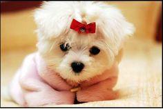 "Maltese Puppy"" Maltese cutties"