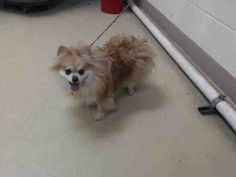05/09/16--HOUSTON- -EXTREMELY HIGH KILL FACILITY - TANZY - ID#A458642  My name is TANZY  I am a spayed female, brown and white Pomeranian.  The shelter staff think I am about 8 years old.  I have been at the shelter since May 09, 2016.  Harris County Public Health and Environmental Services.