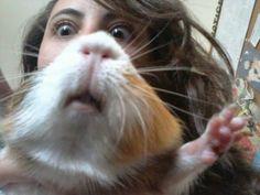 Смешные животные недели - 10 января 2014 года (35 фото), смешно морская свинка