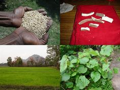 Medicinal Rice Formulations for Diabetes Complications, Heart and Liver Diseases (TH Group-62) from Pankaj Oudhia's Medicinal Plant Database