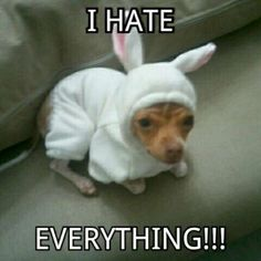 Having-a-bad-day-chihuahua-funny-dog-cute-W630. I wonder if dogs actually feel as humiliated as I feel for them when someone dresses them up like that. If I did that to my cat, I'd have to visit my doctor twice, once for the stitches, then to have them removed.