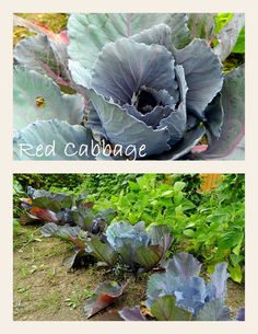 Grandma's Red Cabbage ... still very young - needs more time to grow :)
