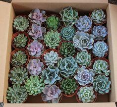"""4"""" Rosette Succulents bulk wholesale succulent prices at the succulent source - 6"""