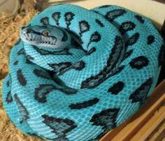 Blue carpet python