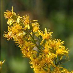 Echte guldenroede €2,99. Latijnse naam: Solidago virgaurea - bloeit van juli tot de herfst met gele bloemen. De heldergele bloemhoofdjes van deze vaste plant vormen samen lange pluimen met korte, schuin omhoog staande zijtakken. Echte guldenroede is een uitgesproken plant voor dag- en nachtvlinders. Daarnaast komen er bijen, solitaire bijen en hommels op af.