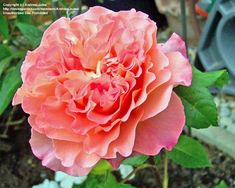 Full size picture of Hybrid Tea Rose 'Augusta Luise' (Rosa)