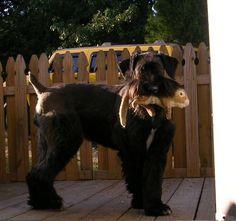 giant schnauzer ear cropping - Google Search Black Schnauzer, Giant Schnauzer, Miniature Schnauzer, Dressage, War Dogs, Gentle Giant, Schnauzers, Four Legged, Dog Training