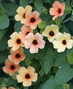 Thunbergia alata, 'Spanish Eyes.'  The varying colors of yellow, orange and terra cotta, all with dark brooding eyes, make for an enchanting combination on this climber. The large flowers keep it coming all summer on this heavy bloomer. This vine would be great twining through a trellis or shrub, or cascading out of a hanging basket. To 6' tall. One of my favourite climbers. This photo really doesn't do it justice.